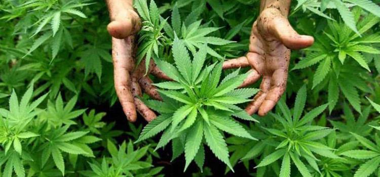 A sembrar marihuana