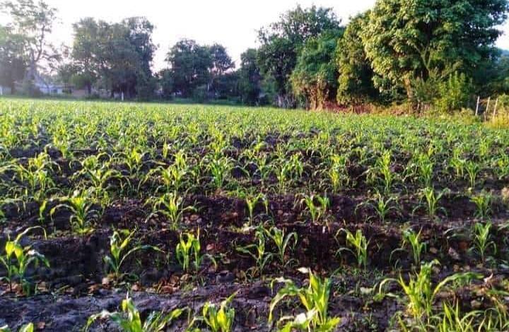 Producirán maíz los municipios
