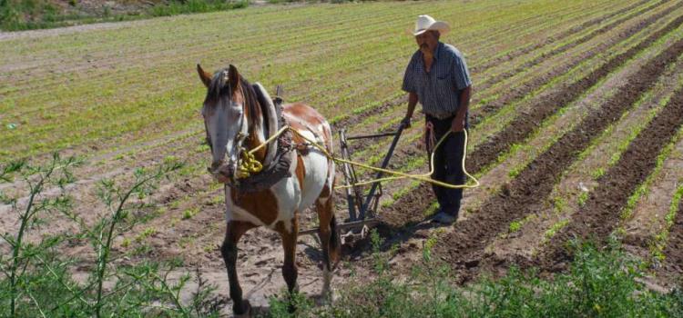 Tras lluvias inició siembra de maíz