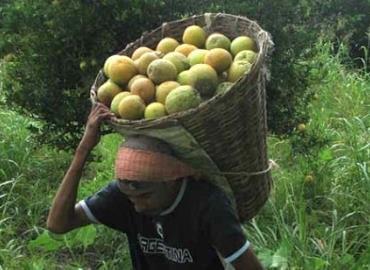 Venderán cosecha en el mercado local