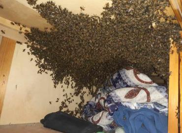 Exhortan cuidarse de enjambres de abejas