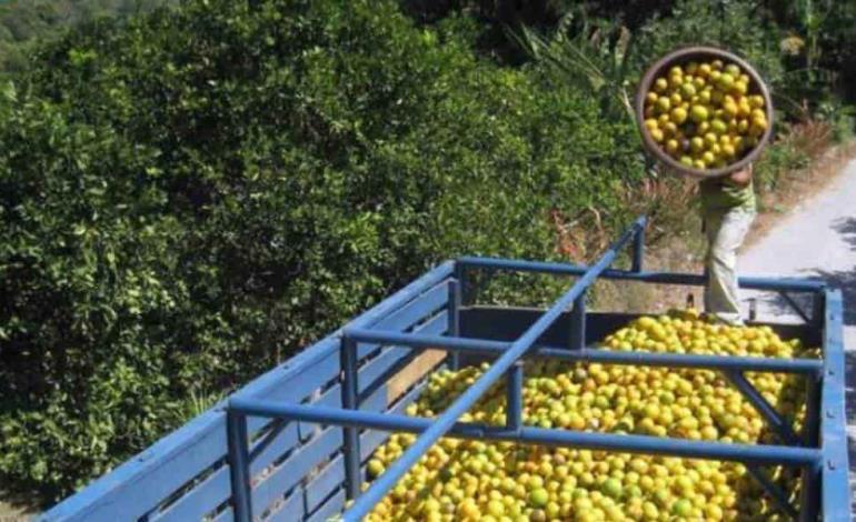 Lluvias beneficiaron a los citricultores