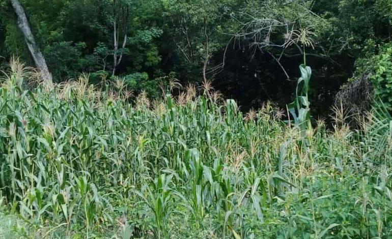Cosechas de maíz afectadas por seca