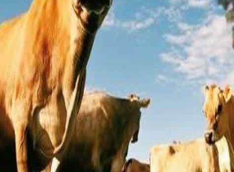 Ofrecen ayuda para la compra de ganado