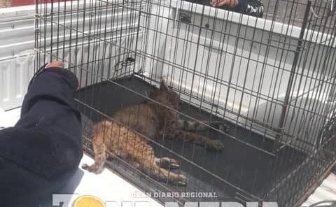 """Atrapan un león en """"El Custodio"""""""