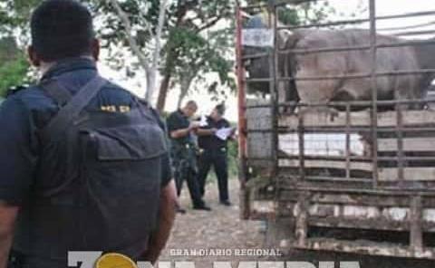 Policías combaten el robo del ganado