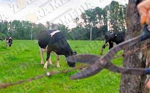 Imparable el robo de ganado