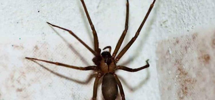 Aumenta población de araña violinista