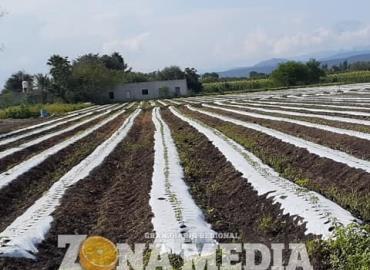 Producen tomatillo