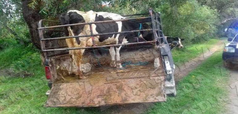 """Movilizan ganado ilegal """"sin arete"""""""