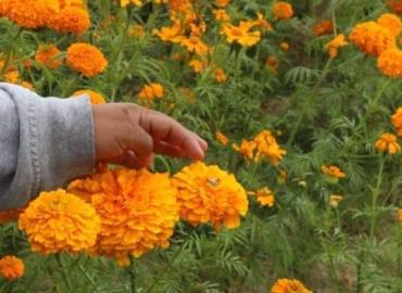 Bajará cosecha en flor de cempasúchil