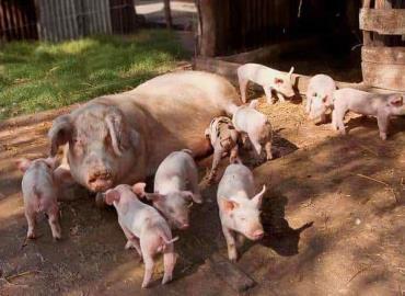 Granjas porcinas fomenta grupo civil