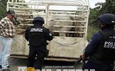 Policías combaten el robo de ganado