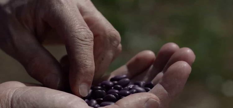 9 comunidades sembrarán frijol