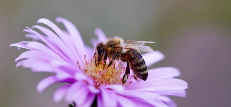 Buscan preservar abeja Melipona
