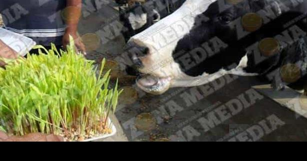 Forraje hidropónico salva vida a ganado