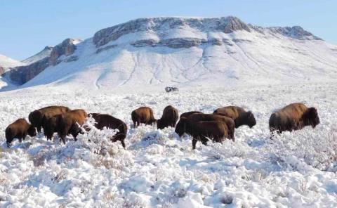 La supuesta caza de bisontes en Coahuila es FAKE