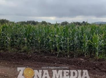 Cultivo de maíz abunda en ejido