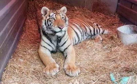 Rescata SSP ejemplar de tigre
