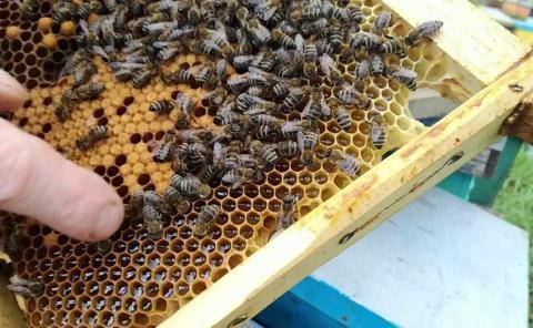 """Criarán apicultores las """"abejas reinas"""""""