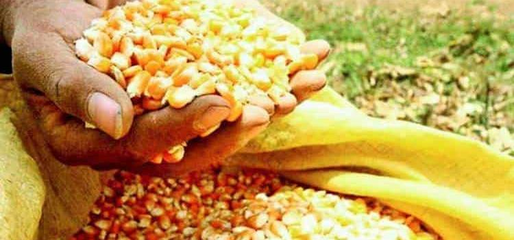 """""""Acaparan"""" maíz y frijol"""