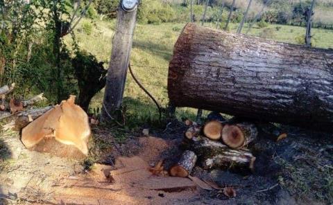 Candidato taló árbol