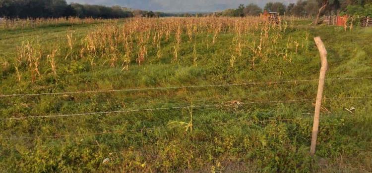 Graves pérdidas en cultivo de maíz
