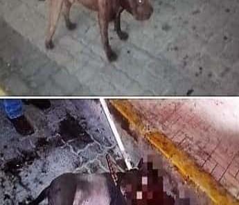 Pelea de perros en calle Hidalgo