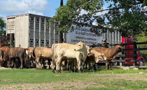 Frenarán la exportación de ganado