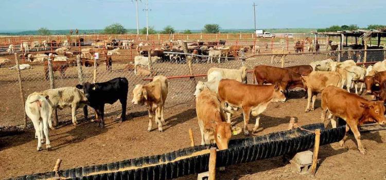 Seguirá exportando ganado la Huasteca
