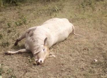 Ex Alcalde quemó vacas con llantas