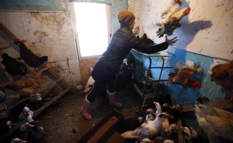 Revelan primeros casos de gripe aviar en ser humano