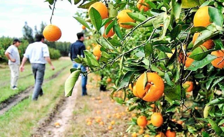 Golpea sequía a citricultores