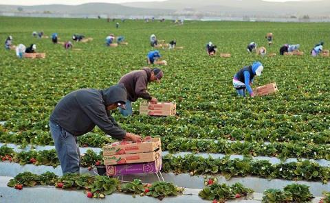 Solicitan a jornaleros agrícolas de Canadá