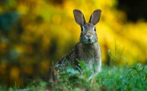 Alerta en SLP por virus en conejos