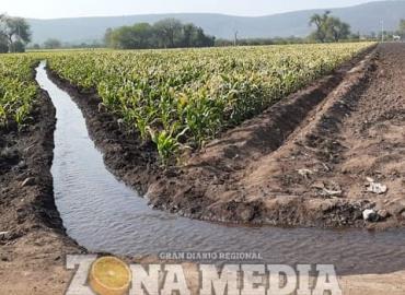 Campesinos laboran en cosecha de maíz