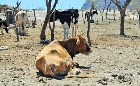 Muere ganado en la Huasteca