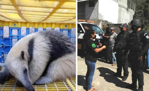Rescatan agentes en Tamán a un oso hormiguero