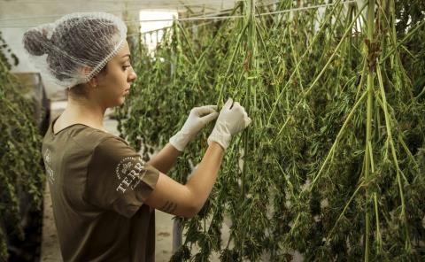 Dan luz verde a la marihuana