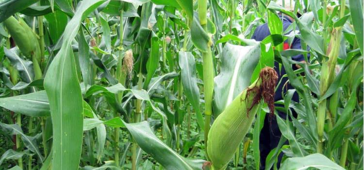 Cultivos de maíz podrían perderse