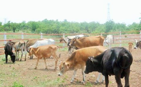 Sequía empieza a afectar al ganado