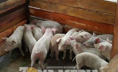 Criaderos de cerdos en la cabecera municipal
