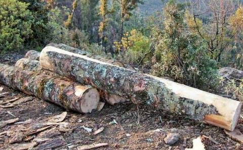 Presentan denuncia por tala de árboles