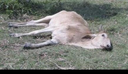 Muere ganado en San Vicente