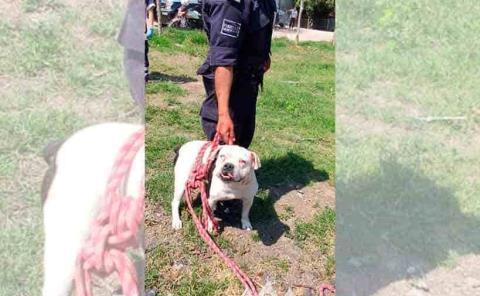 Pitbull casi le arranca la oreja a un policía