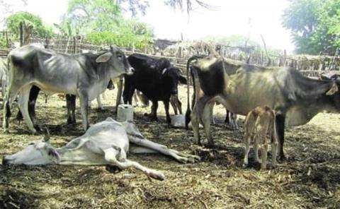Mata sequía 50 mil vacas