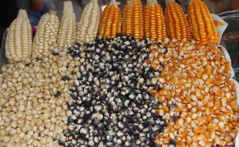 Acaparan el maíz