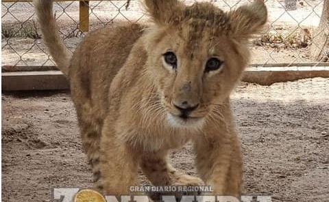Cachorro de león en parque Tangamanga