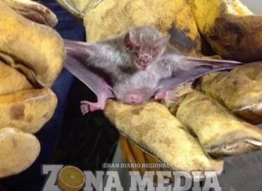Promoverán captura del murciélago hematófago