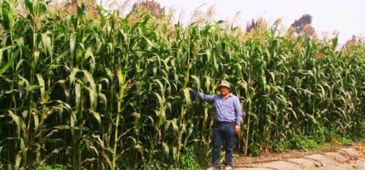 Temen perder los cultivos por calor